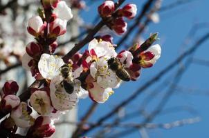 Dos abejas recolecta polen en una flor de albaricoque silvestre foto