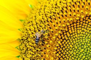 Bright yellow sunflower with a bee collecting pollen photo