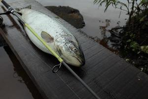 Big salmon fish with fishing rod photo