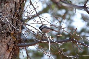 Mountain chickadee poecile photo
