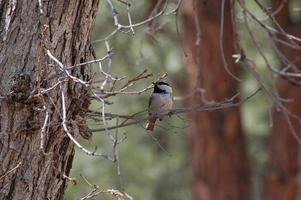 Mountain chickadee in a tree photo