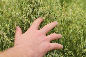 Hand touching oat plants photo