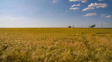a huge wheat field of yellow color photo