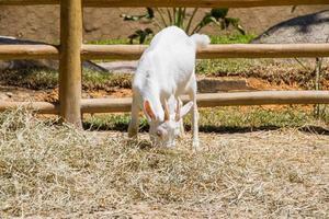 Cabra comiendo hierba en Río de Janeiro. foto