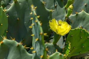 Cactus con flor amarilla en una playa en Río de Janeiro. foto