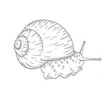 Boceto lineal de caracol de jardín dibujado a mano ilustración vectorial aislada en estilo vintage vector