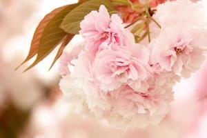 Fresh sakura blossoms photo