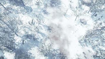 Luftaufnahme von Wölfen, die im Winterwald gehen video