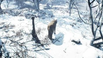 Wölfe, die im Winterwald gehen video