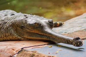 Male Gharial  Crocodile crawling at Arignar Anna Zoo in Chennai, India photo
