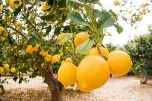 Lemon fruit on tree- Pomos, paphos district, Island of Cyprus photo