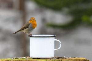 European robin on the edge of a cup photo