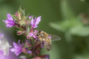 Honey bee on a purple flower photo