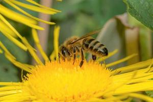 Honey bee on a yellow flower photo
