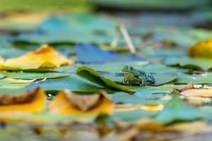 rana verde en un nenúfar foto