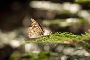 Brown butterfly on a pine branch photo