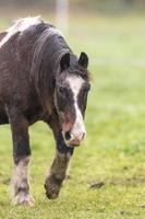 caballo marrón en un prado foto