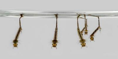 Larvae hanging on the water surface photo