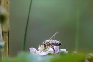 Honeybee on a purple blossom photo