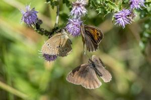 tres mariposas volando alrededor de flores moradas foto