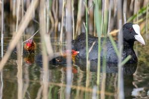 Coot with chick swimming behind reeds on a lake photo