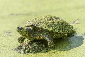 tortuga cubierta de algas foto