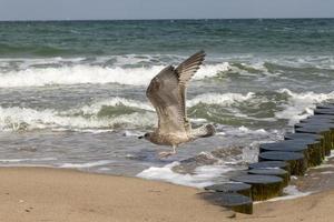Brown herring gull in flight photo