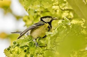 Pájaro carbonero en un arbusto verde foto