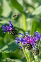 abejas y flores de cardo foto