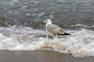 Herring gull standing in water photo