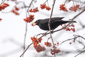 Blackbird eating a red berry photo