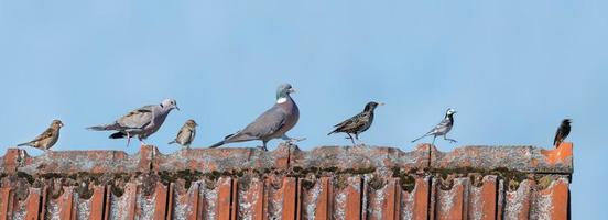 European birds on a roof photo