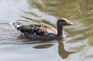 Gray duck swimming in the water photo