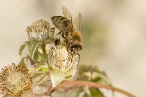 Honeybee on a blackberry blossom photo