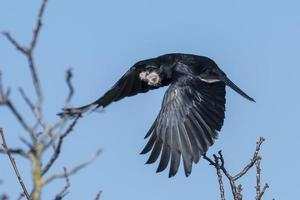 Cuervo volador con material de anidación en su pico. foto