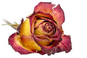 Dried yellow and red rose photo