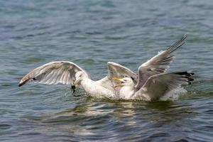Seagulls in water photo