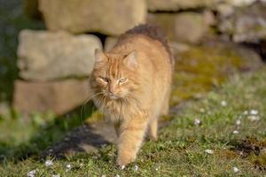 gato atigrado naranja foto
