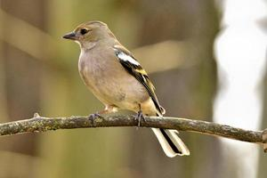 Brown chaffinch on a branch photo