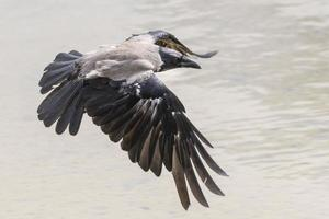 Hooded crow against water photo