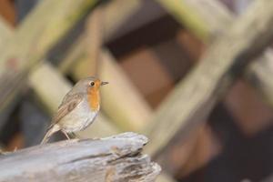 Robin on wood photo