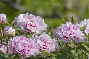 peonías rosas con abejorro volador foto
