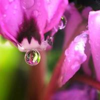 una hermosa flor morada con una gota foto