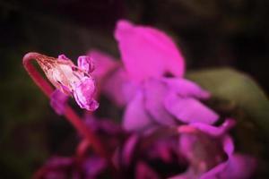 A dead purple flower in a low key photo