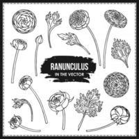 SET OF RANUNCULUS FLOWERS AND LEAVES vector