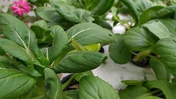 saltamontes tendido sobre las hojas de mostaza video