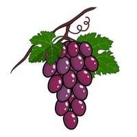 racimo de uvas moradas con tallo y hoja vector