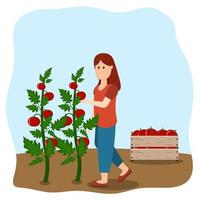 Girl harvests tomatoes vector illustration in flat style