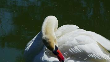 cygne blanc nettoyant ses ailes dans le lac video