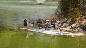 Ducks Near the Lake video